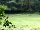 Rudyard Lake, Staffs, UK. Sighting of big cat (puma or lion) 30th August, 2008