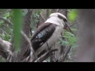 Australian Kookaburra and White Throated Treecreeper @ GardenOfOz