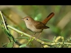 Bird Song ~ Nightingale