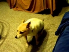 MY DOG BREAK DANCES TO THE RIFLEMAN TV SHOW SONG