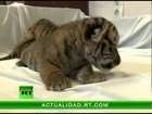 Una perra amamanta a tres cachorros de tigre