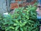PLANTAS MEDICINALES_Niruri, un regalo de la naturaleza_Dr.Ayerbe